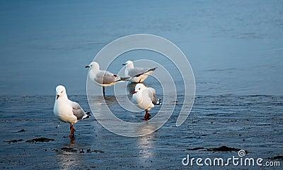 Seagulls Family