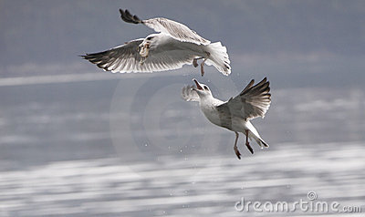 Seagulls fight