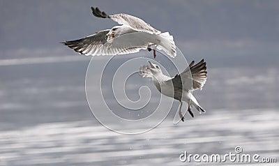 Seagulls fight