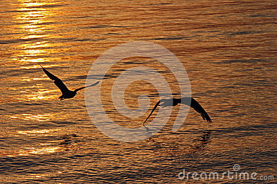 Seagulls in Flight at Sunset Over Water