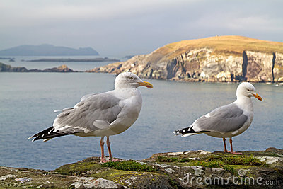 Seagulls on the irish coast