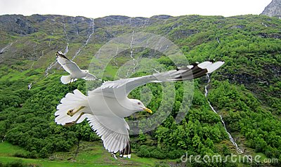 Seagulls in Norwegian fjord