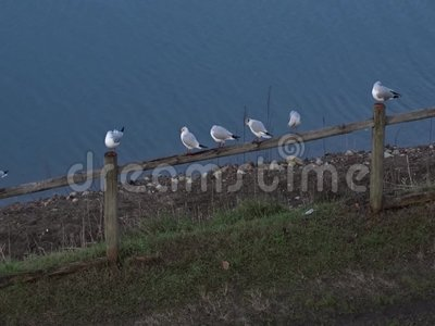 Seagulls perched on a fence stock video