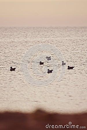 Seagulls swimming in ocean