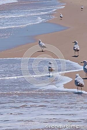 Seagulls Walk on Peaceful Beach