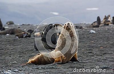 Seal albino