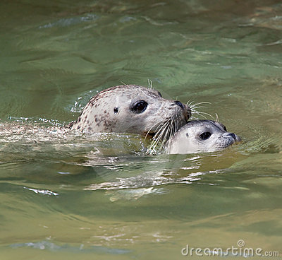 Seal baby swimming