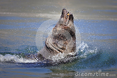 Seal bursting out of the water