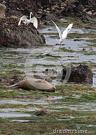 Seal Heron