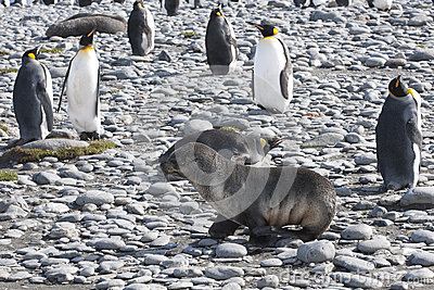 Seal and king penguins in South Geogia