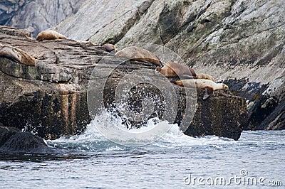 Seal lions on rocky shoreline