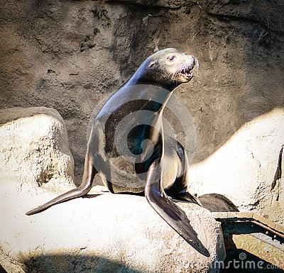 Free Seal Looking Out For Food Royalty Free Stock Image - 132925646