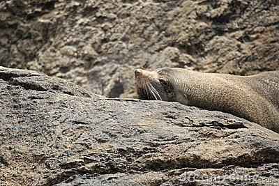 Seal Lying on a Rock