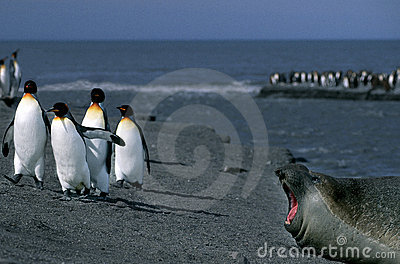 Seal and Penguins, South Georgia