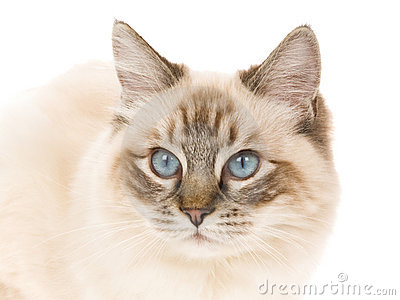 Seal point lynx Ragdoll on white background