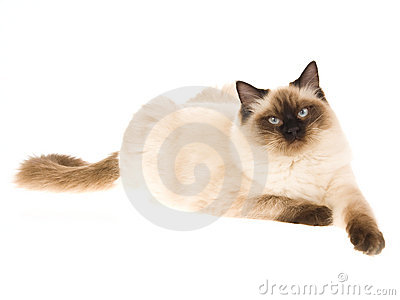 Seal point Ragdoll cat on white background