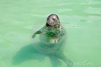 Seal in the pool