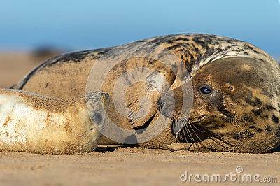 Seal Pup & Mother