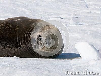 Seal roll
