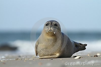 Seal slobbering