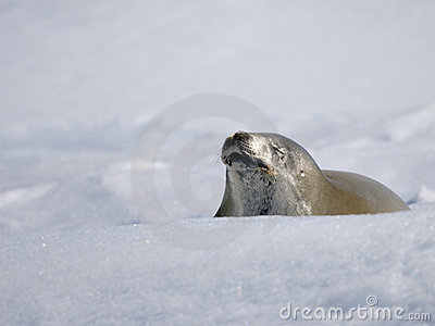 Seal and snow