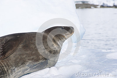 Seal on the snow. Antarctic