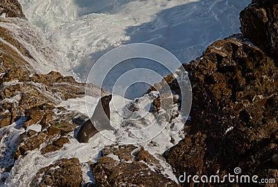 Seal standing on rocks