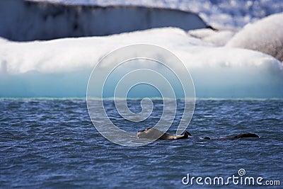 Seal Swims in Jokusarlon Glacial Lagoon, Iceland