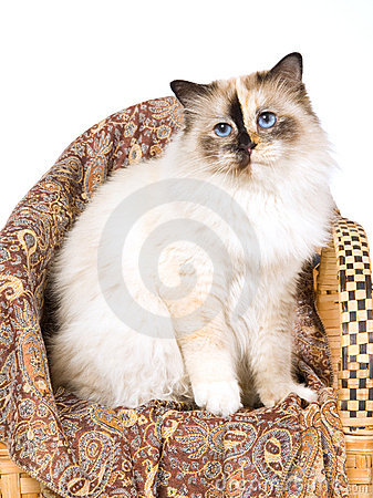 Seal Tortie Birman cat on woven bamboo chair