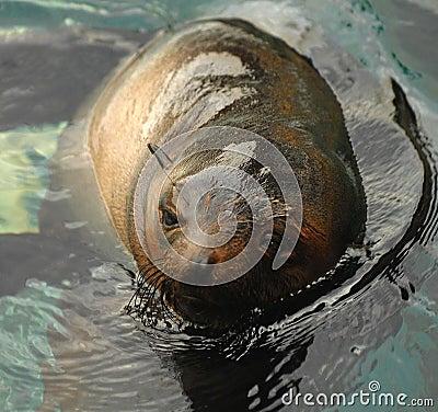 Sealion swimming