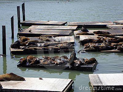 Seals Hangout At Pier 39