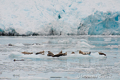 Seals on iceberg
