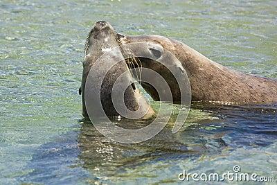 Seals kissing