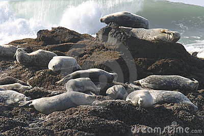 Seals on Pacific Ocean Coast