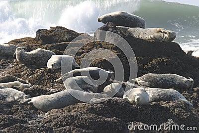 Seals on Pacific Ocean Coast
