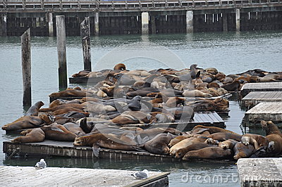Seals at Pier 39 in San Francisco