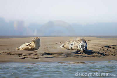 Seals on a sandbank in the middle of a river