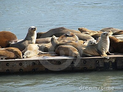 Seals sunning on pier