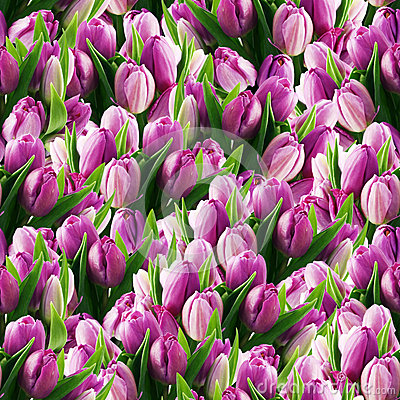 Free Seamless Tulips Royalty Free Stock Image - 28769786