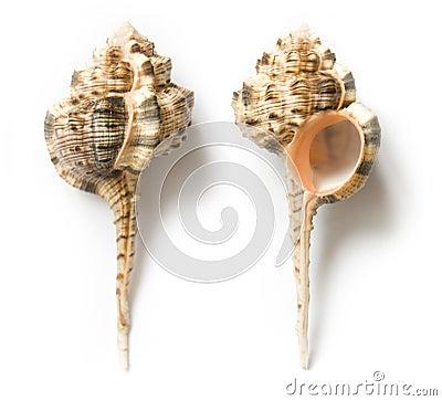 Free Seashell Royalty Free Stock Photography - 10723087