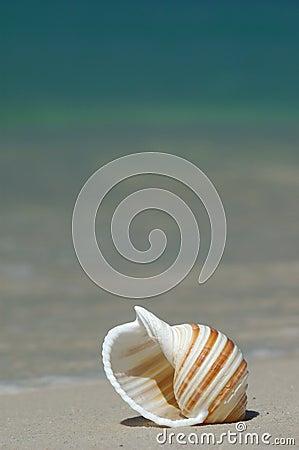 Free Seashell Royalty Free Stock Photography - 1367907