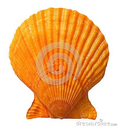 Free Seashell Royalty Free Stock Images - 18842409