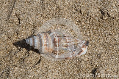 Seashell Royalty Free Stock Photo - Image: 6332245