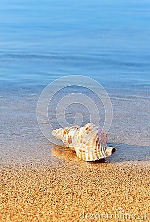 Seashell auf ruhigem Strand
