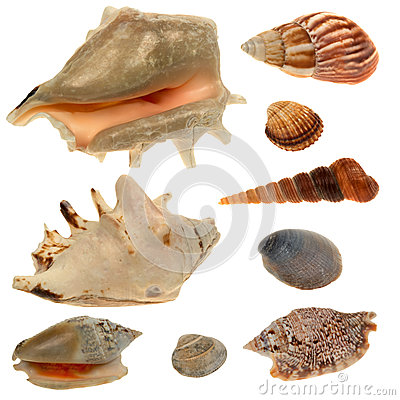 Free Seashell Collection Isolated On The White Background Stock Photos - 50952623
