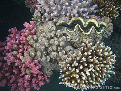 Seashell and corals of Red sea