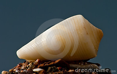 Seashell De La Mer Rouge Images stock - Image: 12906214