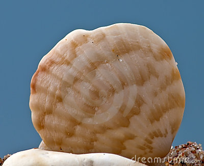 Seashell of the Red Sea