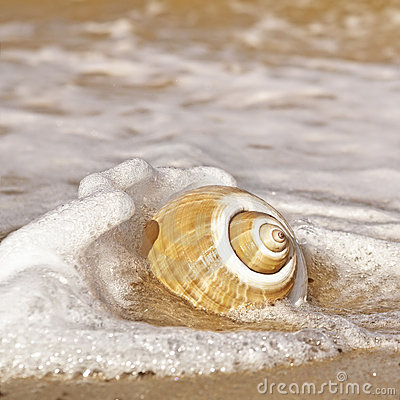 Free Seashell With Sea Foam Royalty Free Stock Image - 22138126