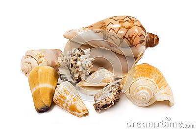 Seashells isolated
